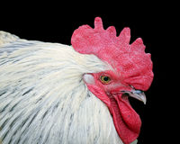 White rooster with red crest isolated. Stock Photos