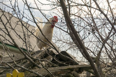 White Rooster on Roof. Curious white rooster walking away on the roof royalty free stock image
