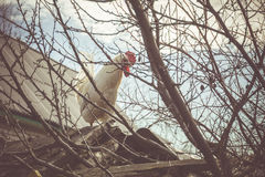 White Rooster on Roof. Curious white rooster walking away on the roof royalty free stock photo