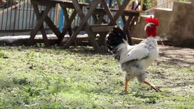A white rooster. A rural scene of close-up of a white rooster with black tail stock video