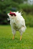 White Rooster Shaking Its Head Stock Photography