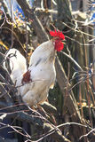 White rooster sings in the village Royalty Free Stock Photography