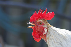 White rooster sings in the village Stock Image