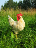 White rooster walking on a green meadow. White rooster walks in summer in a field of green grass on a sunny day Stock Photos