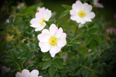 White rosa bloom Royalty Free Stock Photography