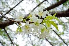 White Rosaceae flowers. On tree branches Stock Image