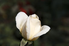White rose. ,white rose,under sunshine,outdoor beauty, freshness, dark green background, Photographs of the natural environment, love Royalty Free Stock Photo