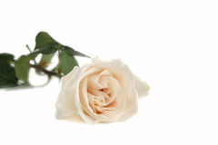 Free White Rose 1 Royalty Free Stock Images - 1431699