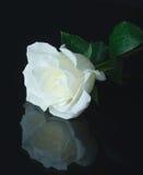 White rose Stock Photo