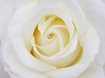 White rose. Gentle Royalty Free Stock Images