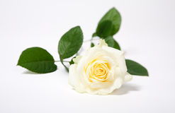 White rose. White  single rose isolated on white with green leaves Royalty Free Stock Photography