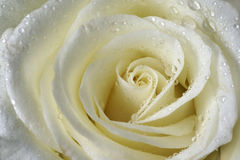White Rose. Wet  White Rose detail and drop Royalty Free Stock Image