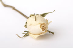 White Rose. See a white dried rose on white background Royalty Free Stock Image