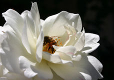 White Rose. With Bee stock images