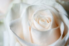 White rose. Under natural light Royalty Free Stock Photo