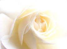 White rose. Closeup