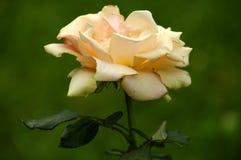 White rose. Photo taken in a botanical garden Stock Photography