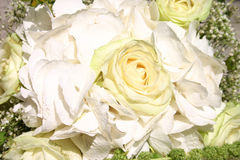 White rose. As a present of love for just murried Royalty Free Stock Image