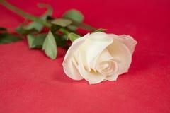 White rose Royalty Free Stock Photo