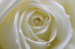 White rose. Early morning shot of a beautiful white rose Royalty Free Stock Images