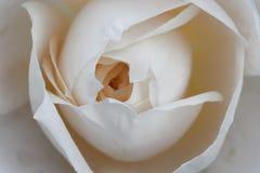 White rose. Close up shot of a plain white rose Stock Image