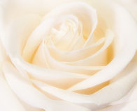 White Rose. Closeup of white rose in full bloom Royalty Free Stock Image