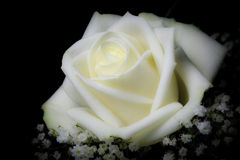 White Rose Royalty Free Stock Photography