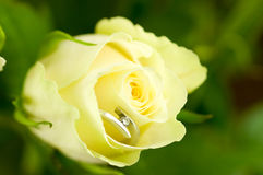 White rose Royalty Free Stock Image