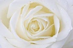 White rose Stock Image