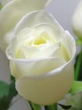 White rose. White romantic rose close up Royalty Free Stock Photo