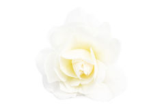 White Rose. Flowers & Plants - White rose isolated on white background Stock Image