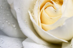 White rose. With raindrops on petals stock images