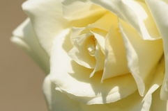 White Rose. Rose, white in color, with marco lens royalty free stock photography