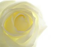 White rose. Close-up with copyspace stock images