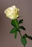 White rose. Over grey background Stock Photos