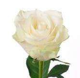 White rose. Isolated on white background Stock Photos