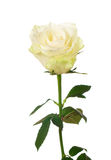 White rose. Isolated on white background Royalty Free Stock Photos