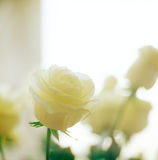 White rose. Stock Photos