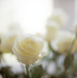 White rose. Stock Photography
