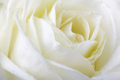 White rose. Close-up with dew drops, full frame image Royalty Free Stock Photo