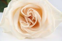 White rose 2 Stock Image