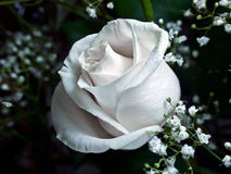 White Rose. Royalty Free Stock Image