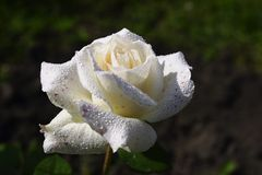White rose. Rose with water droplets Royalty Free Stock Photos