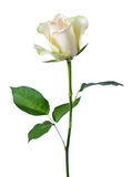 White rose . Stock Photography