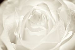White Rose. White rose petals are very tender and fragile. Its fragrance charms Stock Photography