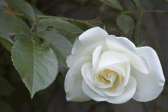 White Rose. Beautiful White Rose Macro shot Stock Photos