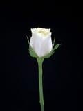 White Rose. Isolated Ob Black Stock Photography