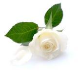 White rose. On white ground Stock Image