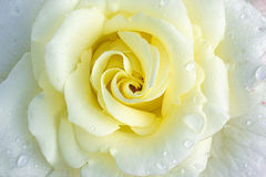 White rose. Flower with dewdrops Stock Photo