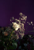 White rose. And some flowers on a dark purple background Stock Photo